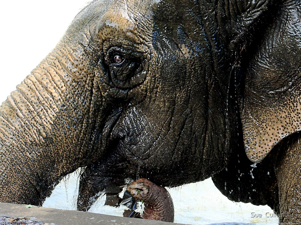 An Elephant Smile by Sue  Cullumber