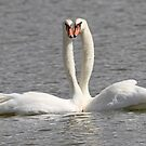 Swans in love ! by jozi1