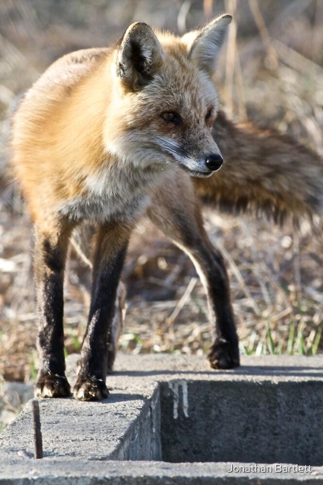 What a sporty little vixen by Jonathan Bartlett