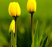 Yellow Tulips by amycrum