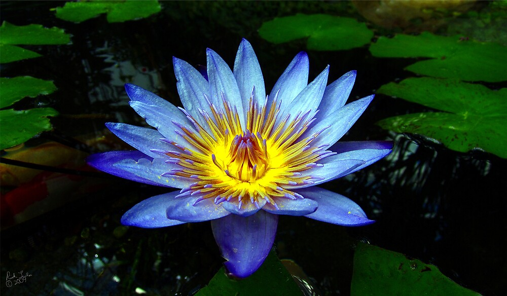 Water Lilly Two by Rick Lawler