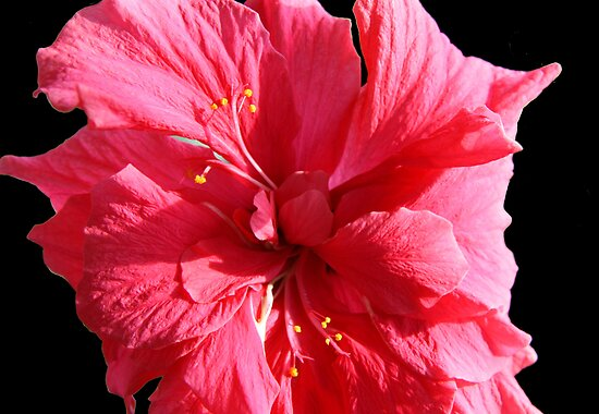 Double Red Hibiscus by Vickie Emms