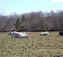 Mo's View of Bodacious Bovines 3 by Maureen Zaharie