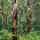 Kinglake Mountain Grey Gum Forest by Ern Mainka