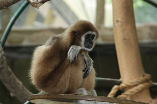 White-handed Gibbon by Alyce Taylor