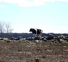 Mo's View of Bodacious Bovines 6 by Maureen Zaharie