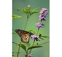Delicate Monarch Photographic Print