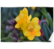 Yellow Freesia Poster