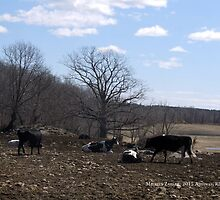 Mo's View of Bodacious Bovines 9 by Maureen Zaharie