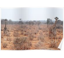 young giraffes Poster