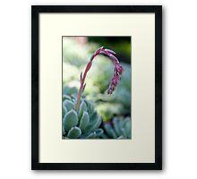 Echeverria flower Framed Print