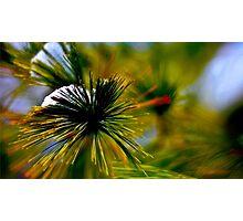 Snow on a Pine Photographic Print