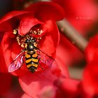 """ Hover Fly On Quince "" by Richard Couchman"