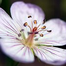 Wildflower 1 by steini
