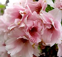 Cherry Blossom by Lee Kerr