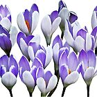 Cluster of Crocuses by Susan Savad