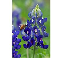 Bluebonnet and bee Photographic Print