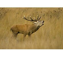 Red Deer Stag Photographic Print