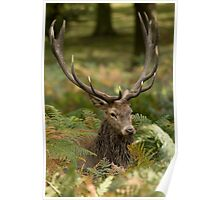 Red Deer Stag (3450) Poster