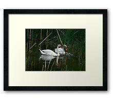 Swans & Cygnets Framed Print