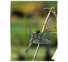 Four Spotted Chaser - Dragonfly Poster