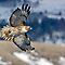 """(Birds Category) - Subfamily - Accipitrinae - """"True"""" Hawks"""