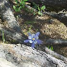 Lavendar Columbine (Aguilegia caerules) State Flower of Colorado adopted April 4, 1899 by janetmarston