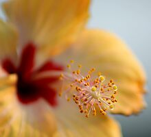 Stamen and Pistil on a bokeh-ed yellow-red china rose  by Shubhrajit Chatterjee