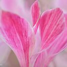 Pink Lily Macro by Prettyinpinks