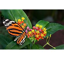a passion for lantana Photographic Print