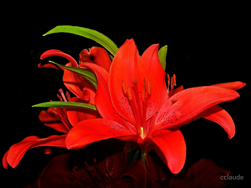 Red lily by cclaude