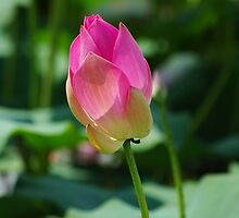Water Lilies by Rainy