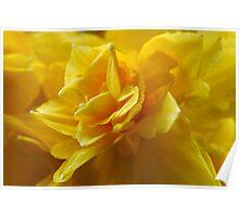 Flamenco Daffodils Poster