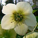 White Bloom by Finbarr Reilly