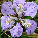 Iris by Finbarr Reilly