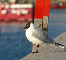 Franklins Gull - Beautiful picture of a bird at a harbor by verypeculiar