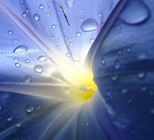 Morning Glory after the rain by Alymark