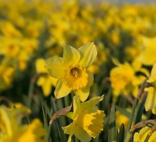 The Rising Daffodil - Lovely photo of a field of daffodils by verypeculiar