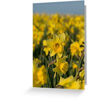 The Rising Daffodil - Lovely photo of a field of daffodils Greeting Card