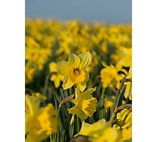 The Rising Daffodil - Lovely photo of a field of daffodils Photographic Print