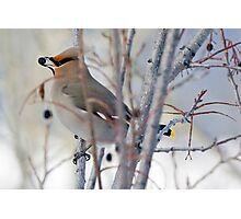 Waxwing and Late Season Berries Photographic Print
