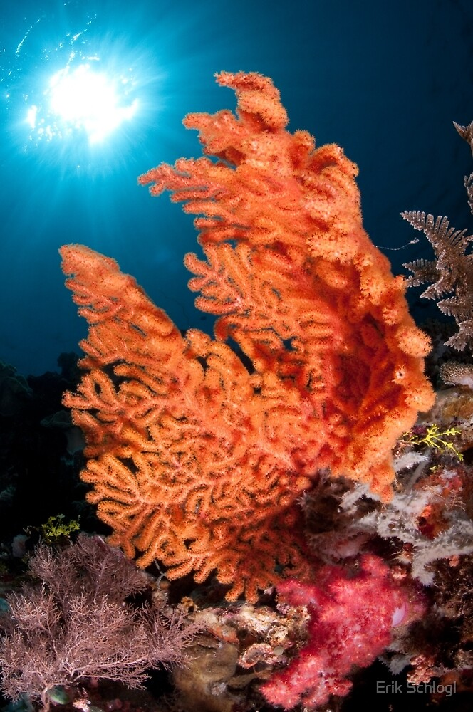 Soft coral, Wakatobi National Park, Indonesia by Erik Schlogl