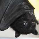 Australian Infant Black Fruit Bat by ivanwillsau