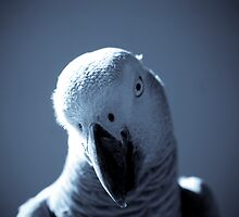 African Grey Parrot by Diego Texera