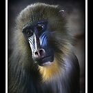 Baboon by SeRVE