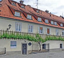 "The ""Old Vine"" in Maribor by Graeme  Hyde"