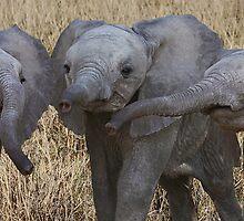 BABY ELEPHANTS - KENYA by Michael Sheridan