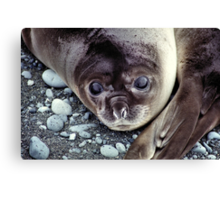 Babies, Nose to Tail. Southern Elephant Seal Pups, Macquarie Island  Canvas Print