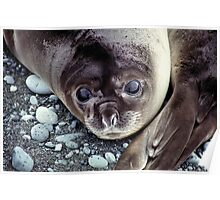 Babies, Nose to Tail. Southern Elephant Seal Pups, Macquarie Island  Poster