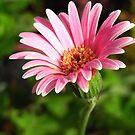 single daisy...  by nyxs